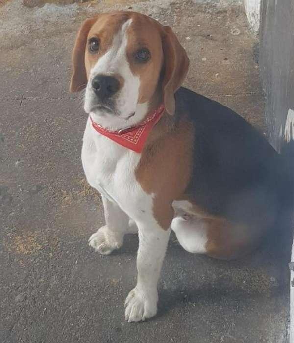 <strong>beagle</strong> Busca Novia