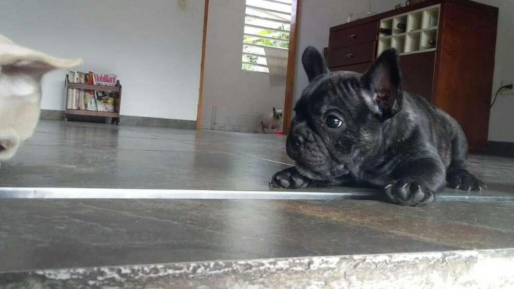Se Vende <strong>bulldog</strong> Frances Macho