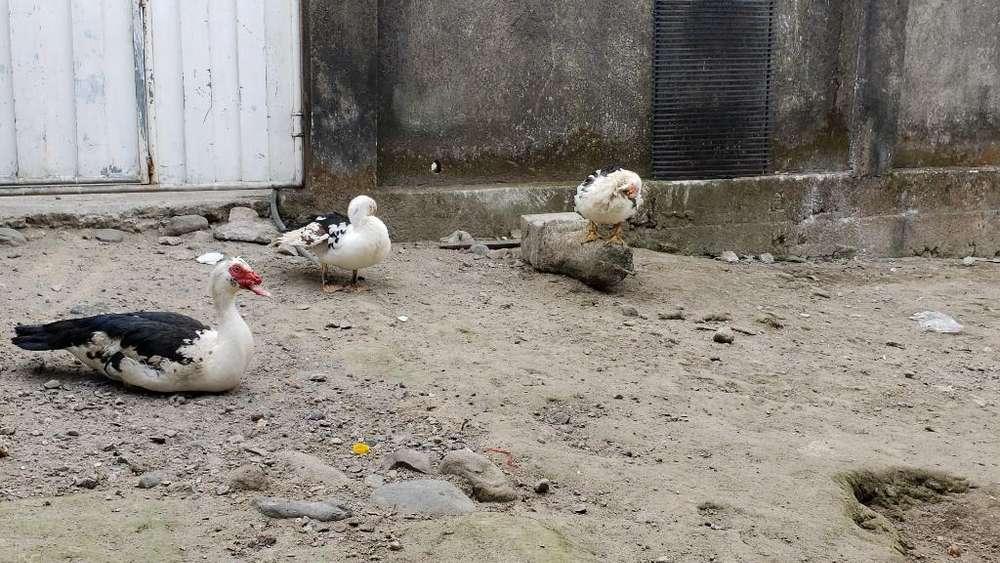 Venta de Patos Santo Domingo
