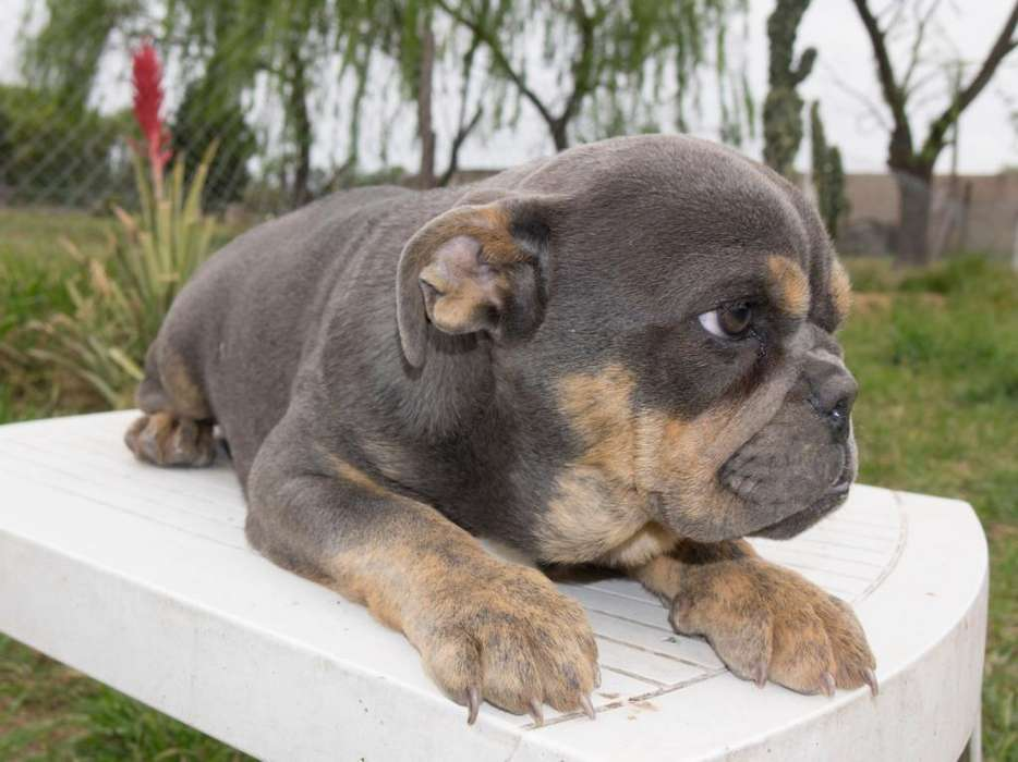 Bulldog Ingles Blue Tri