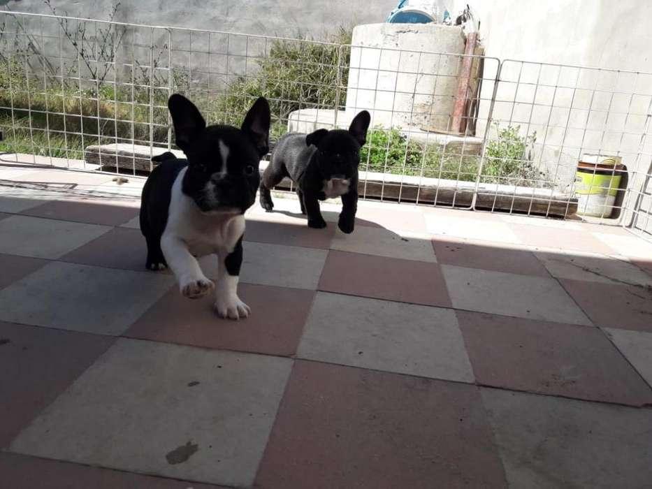 Hembritas Bulldog Francés Disponibles