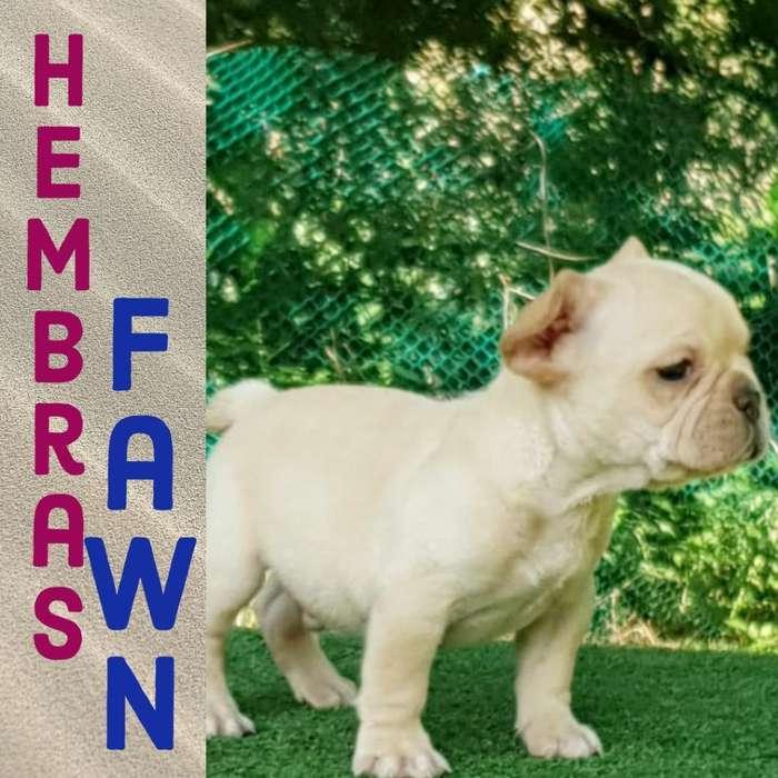 <strong>bulldog</strong> Frances Hembra Fawn