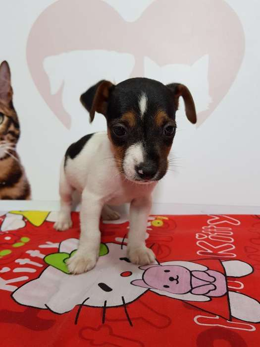 Estupendos Jack Russell <strong>terrier</strong>s