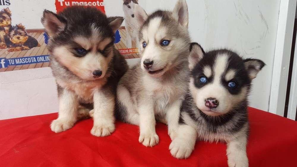 Desparacitados Husky Siberiano y vacunados
