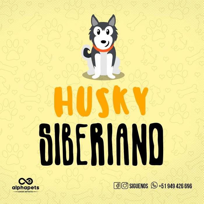 <strong>cachorro</strong>S SIBERIANO HUSKY EXCLUSIVOS PERU ENVIÓ NACIONAL E INTERNACIONAL
