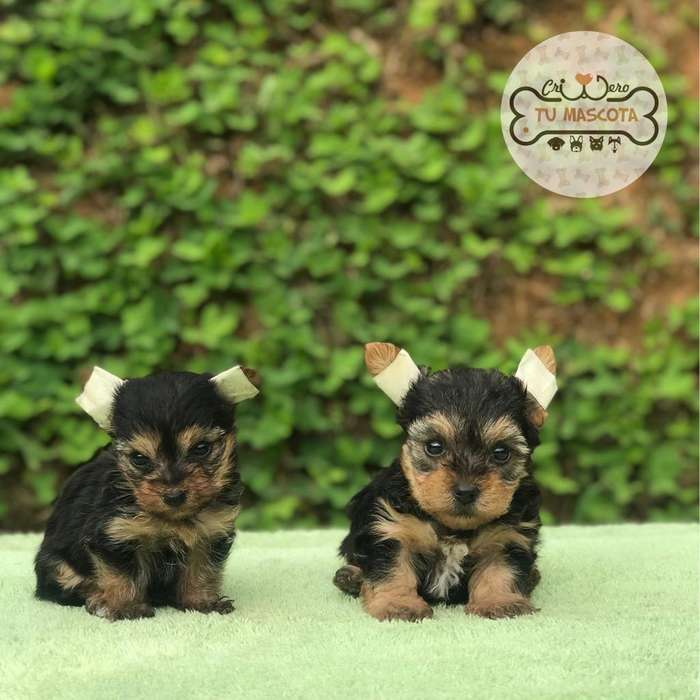 Yorkies Tanaño Mini