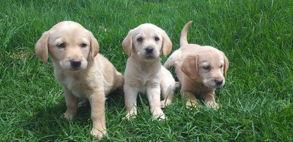 Vendo Lindos Labradores Retriever