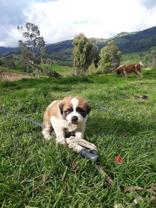 Bendo Cachorra Rasa San Bernardo Pura en