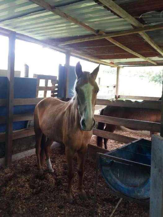 <strong>caballo</strong>S - ESCARCHA 4 AÑOS GALOPERA WHATSAAP 3155738076