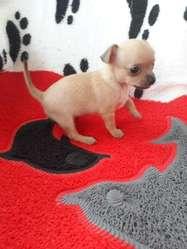 Chihuahuas Mini Cabeza Manzana Envíos.