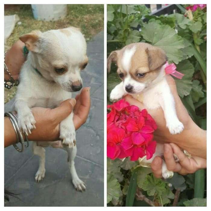 Chihuahua Cachorros Listos para Entregar