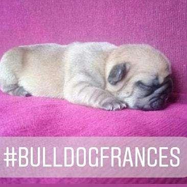 Cachorros <strong>bulldog</strong> Frances increibles. Calidad TOP. Se entregan el 11 de Octubre