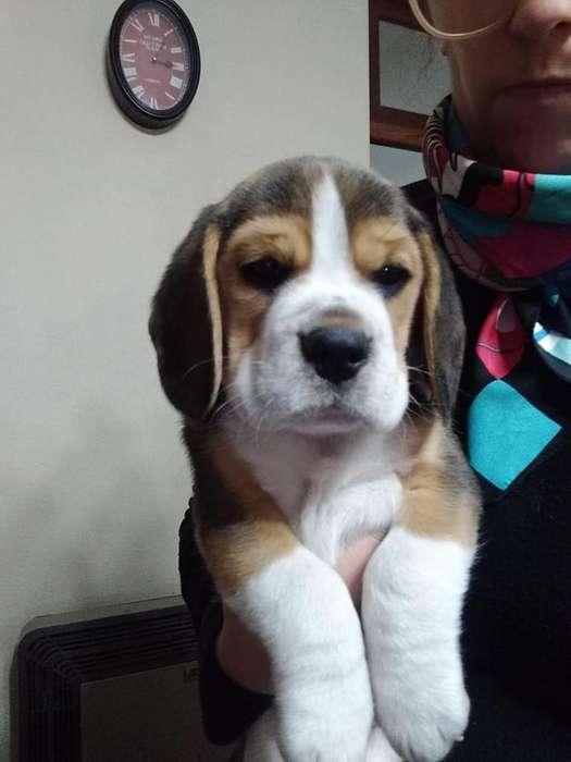 Beagle Tricolor cachorro