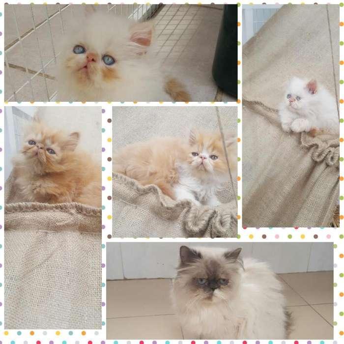 Gatitos <strong>gato</strong> Persa Puros Línea Americana