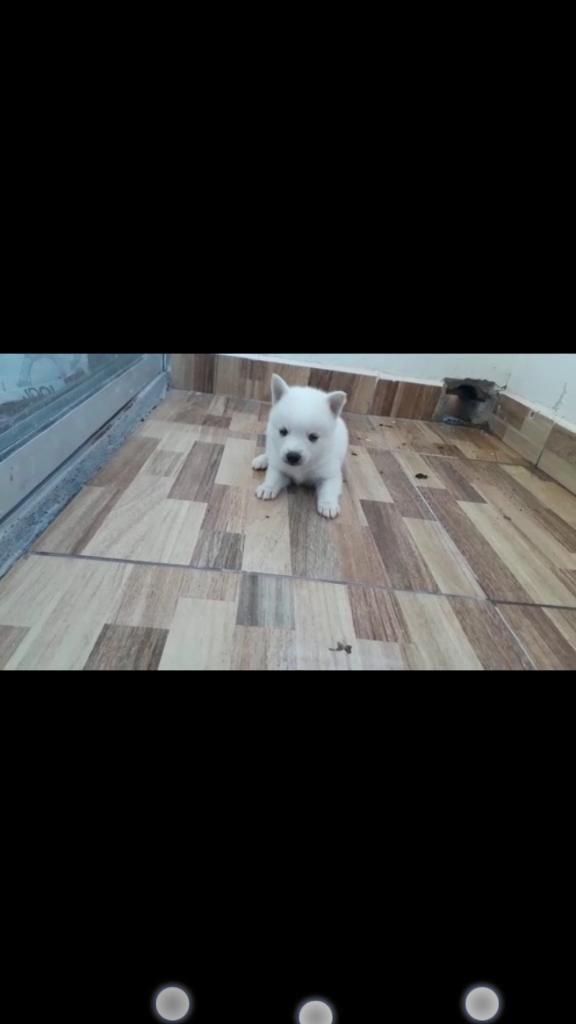 Espectaculares Cachorros Pomsky