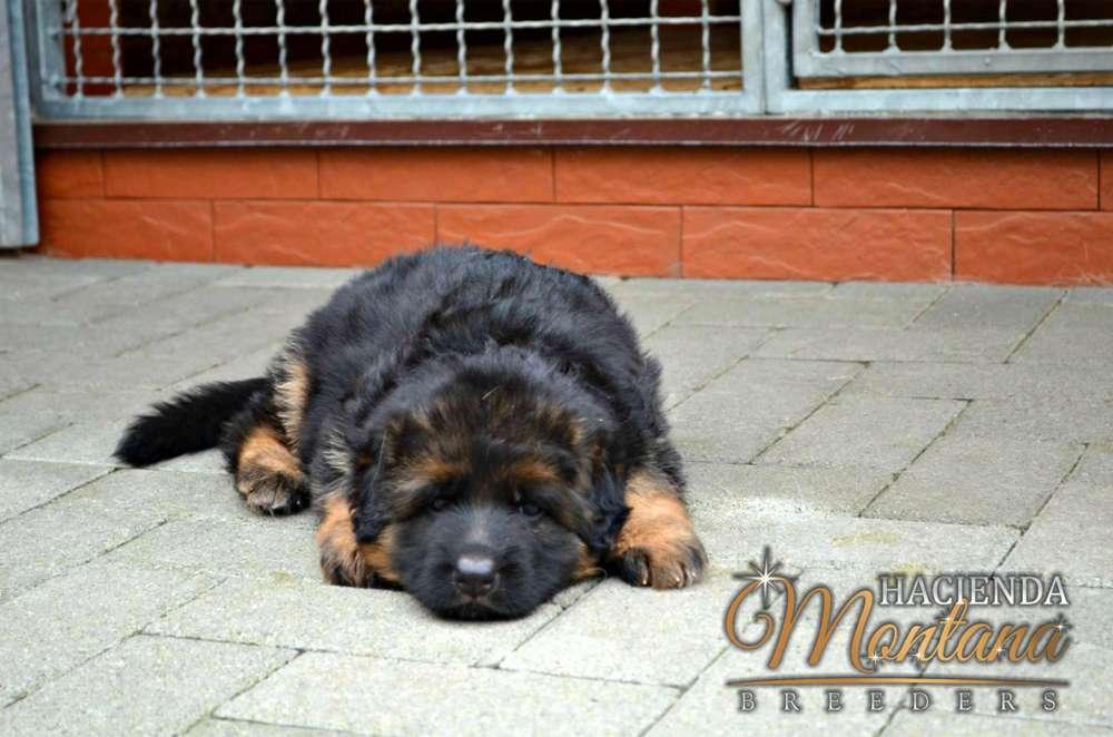 VENTA DE <strong>cachorro</strong>S PASTOR ALEMAN PELO LARGO EN CARTAGENA