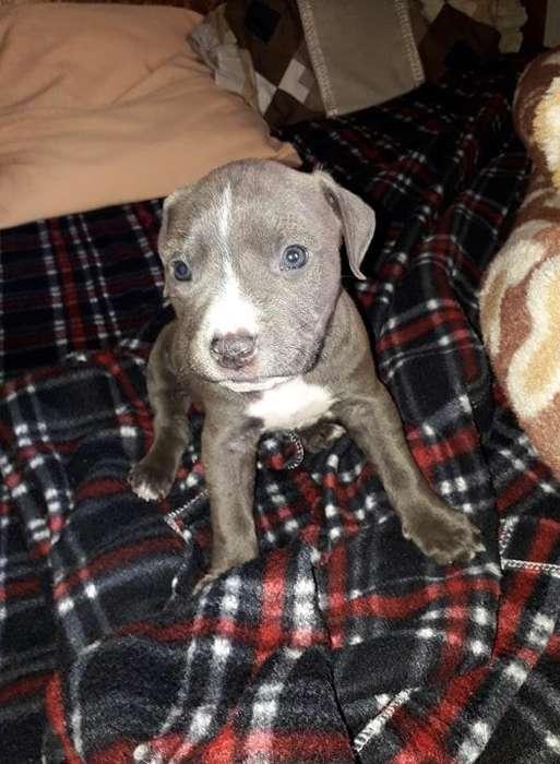pitbull blue nose hembra