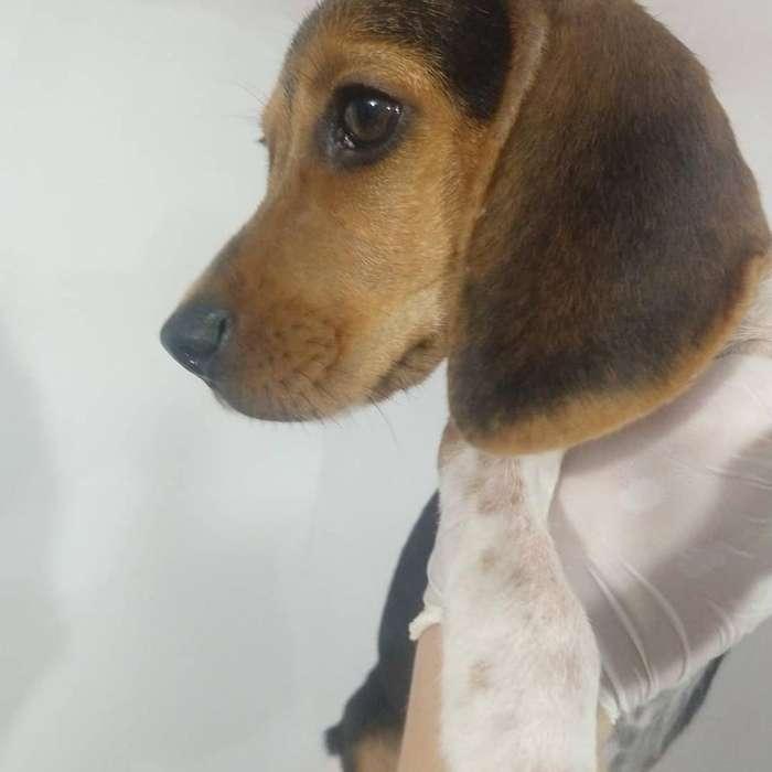 Hermoso Cachorro Beagle
