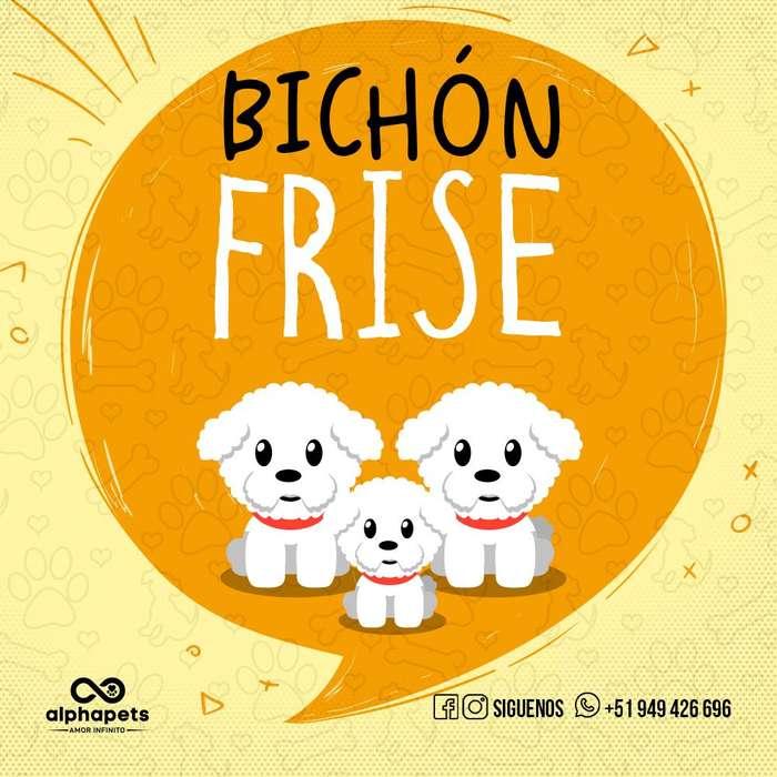 <strong>cachorro</strong>S BICHON FRISE DE LAS MEJORES LINEAS ENVÍO NACIONAL INTERNACIONAL
