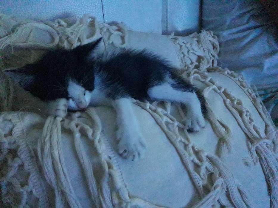 <strong>gatito</strong>s Bebes para Adopcion