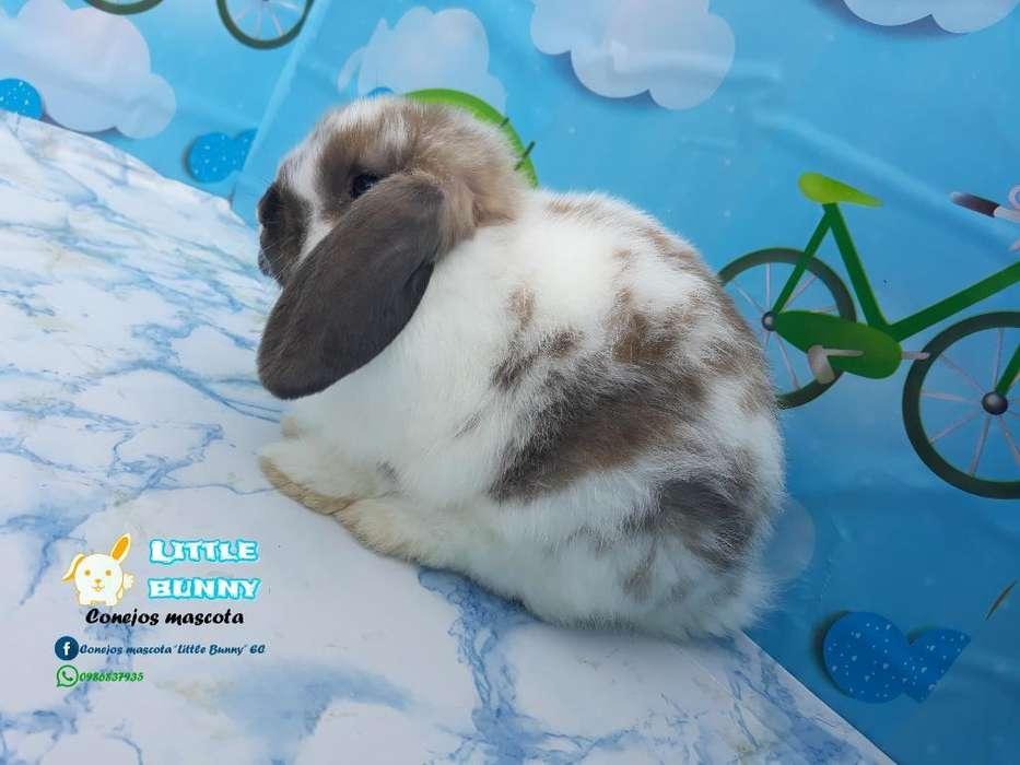 Conejos Conejitos Minilop