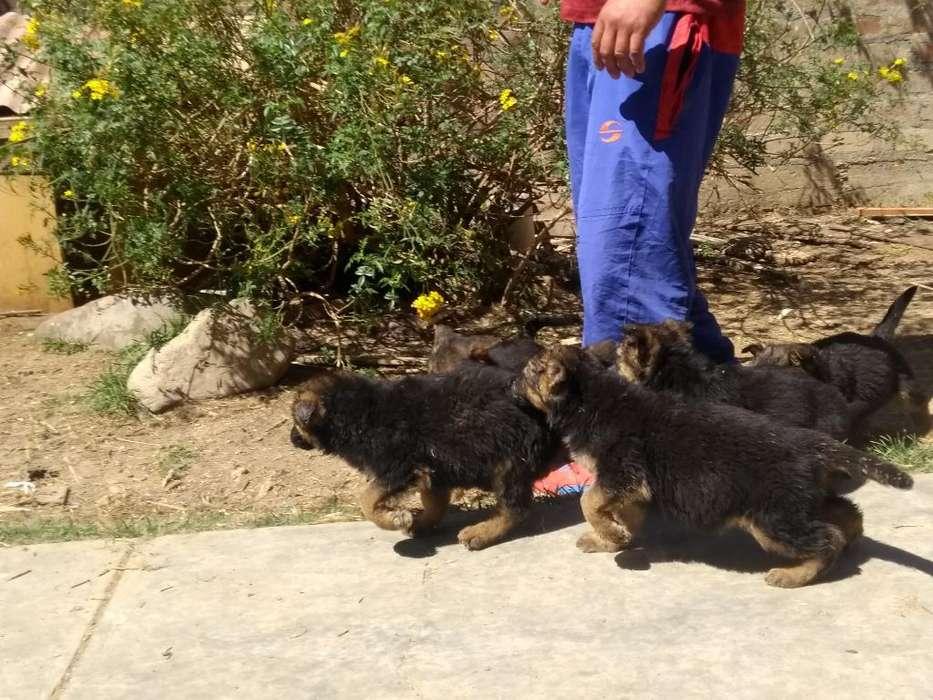 Vendo <strong>cachorro</strong>s Pastor Alemán