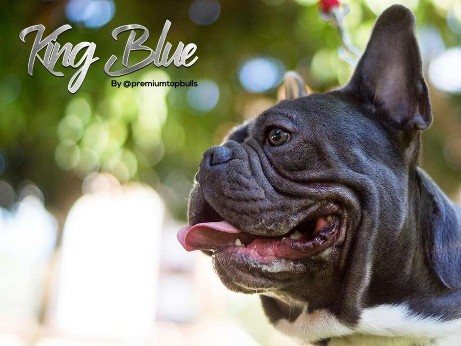 Bulldog Francés Blue Disponible Montas