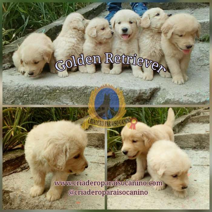 Golden Retriever Machos Y Hembras