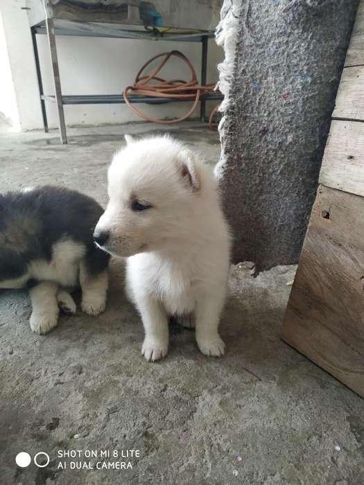 Se Vende Perritos Husky Siberianos