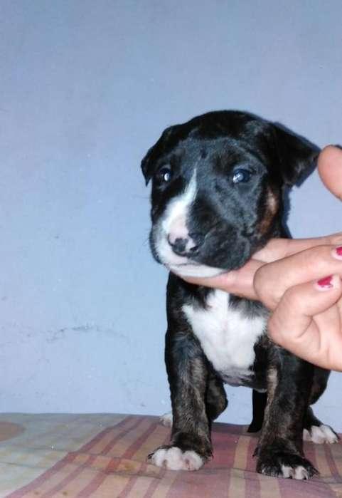 Venta Bull Terrier Cachorra