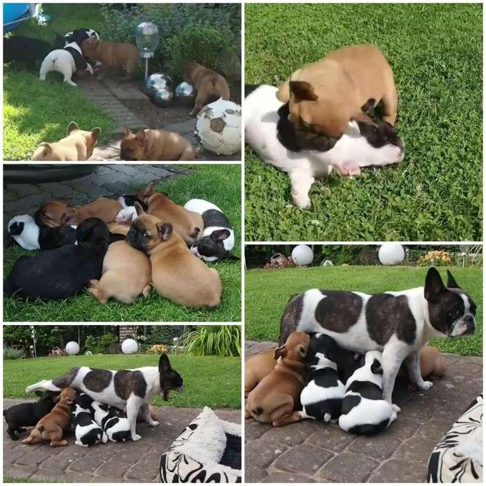 bulldog frances hermosos cachorros