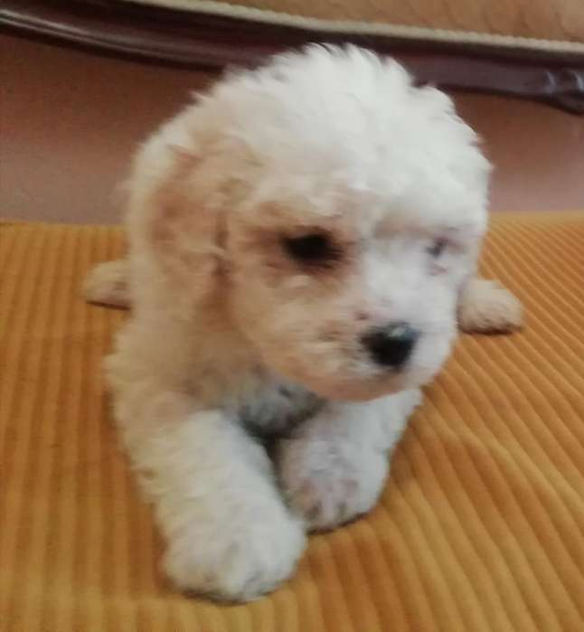 Tiernos Adorables French Poodle Mini Toy