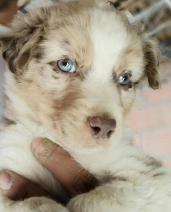 Border Collie, Red Merly, 2meses