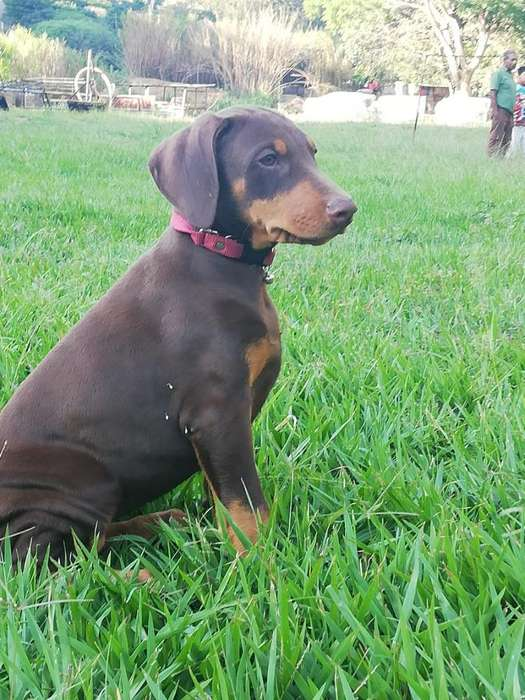 Hermosas Doberman Pedigree Oro
