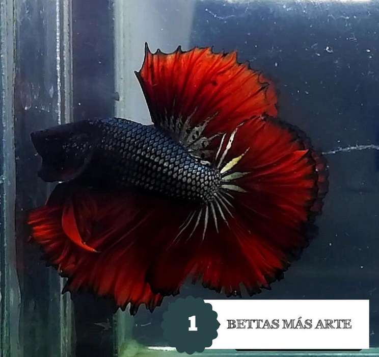 Bettas X Mayor desde 5Mil
