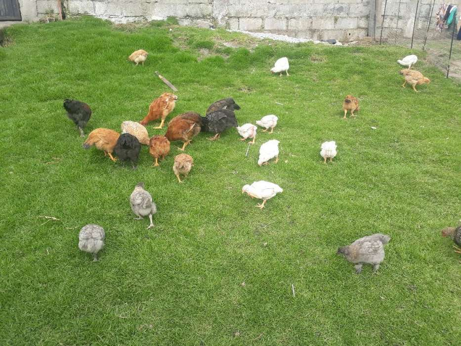 Sevende Pollos de Campo en Pie