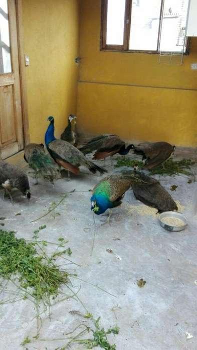 Aves de Corral