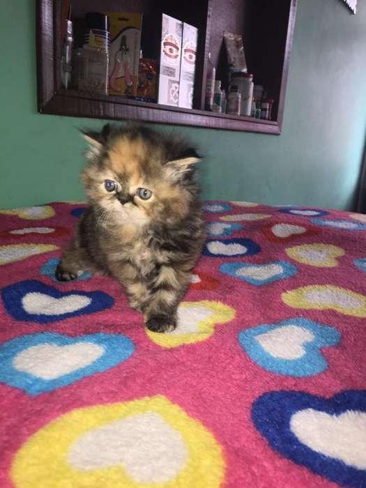 Gatos persa Extremos y Semiextremos