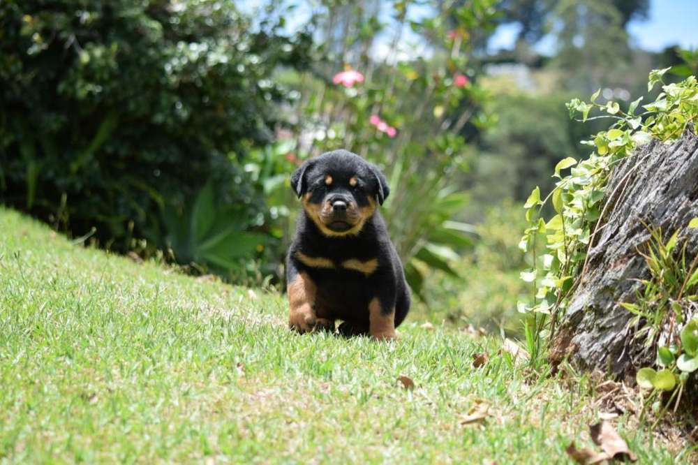 <strong>rottweiler</strong> Hembra Solo Queda Una