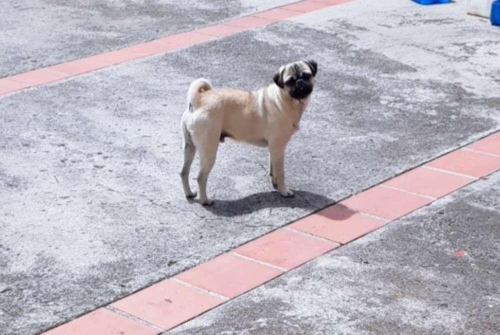 Vendo Cachorro Pug