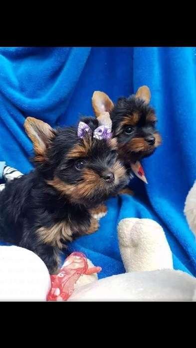 Venta de Cachorros Yorkshire Terrier