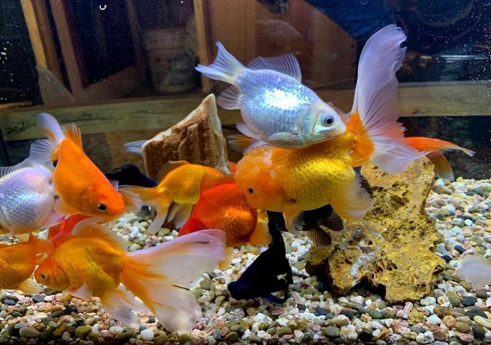 Venta de Hermosos <strong>peces</strong>