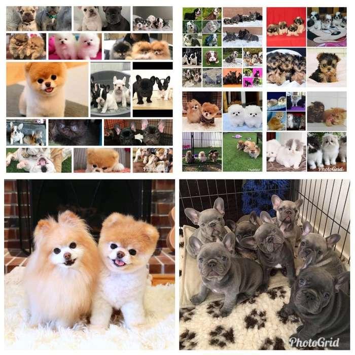 Perros pomeranias bulldogs gatos persas