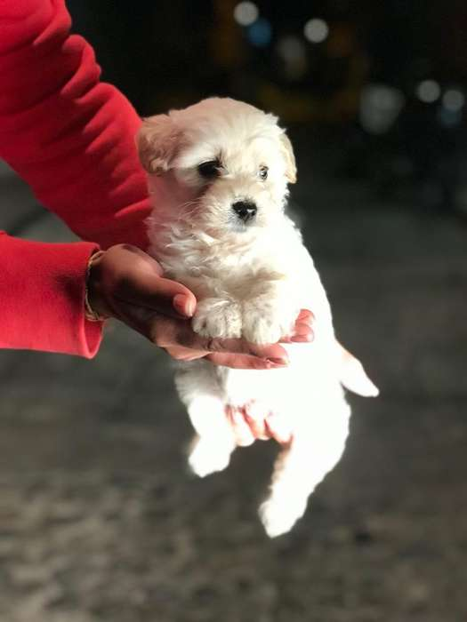 Cachorros French poodle 200