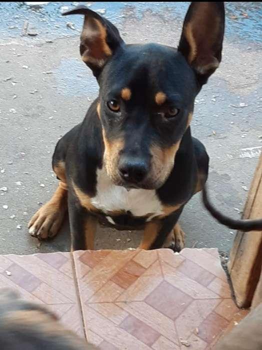 Cachorra Pitbull Y Bullytricolor Exelent