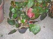Planta de Begonia Erythrophylla en maceta de cultivo 12
