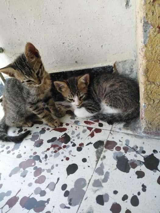 Sedán Gatos en Adopción Tienen Dos Meses