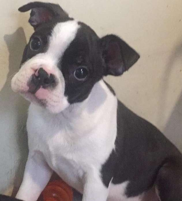 Cachorro Boston