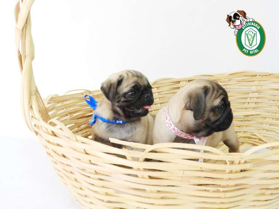 CACHORROS BELLOS PUG CARLINO EN PET VITAL !!