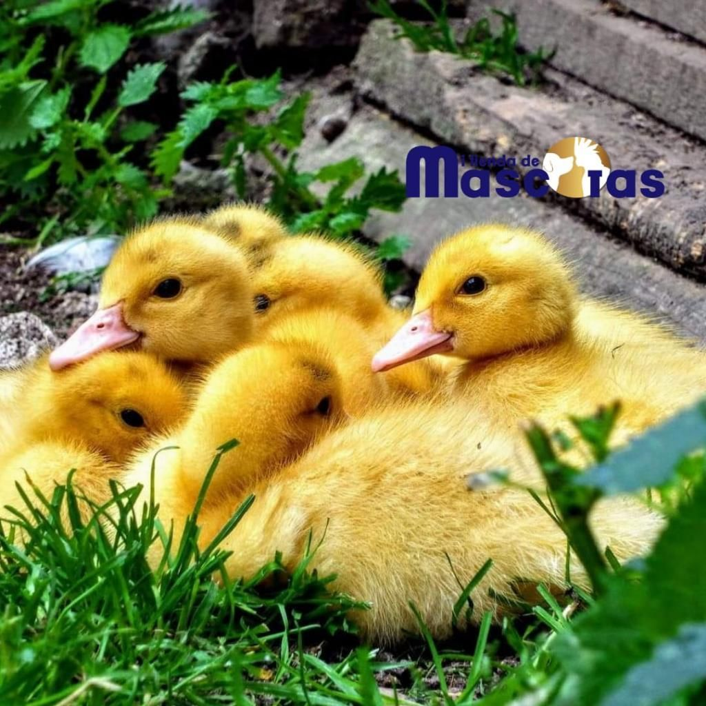 Patos Pequeños Y Adultos
